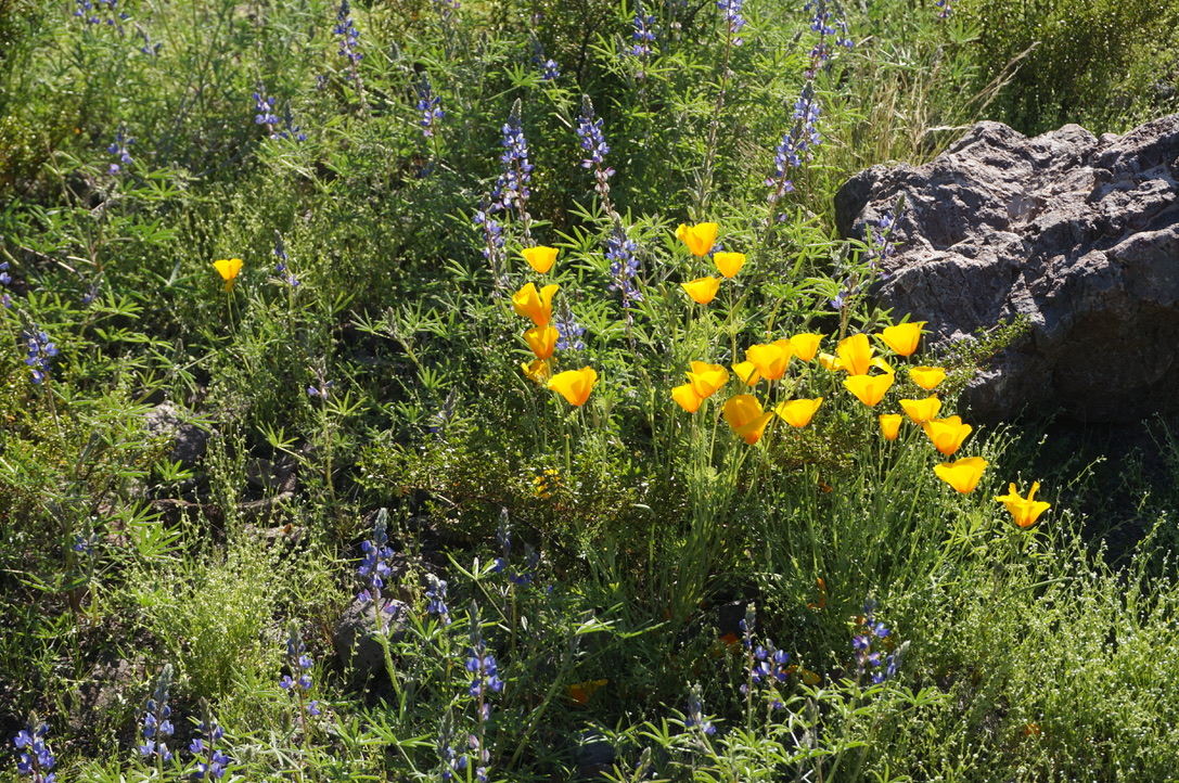 California poppies and purple lupines bloom on an uncharacteristically green desert mountain slope.